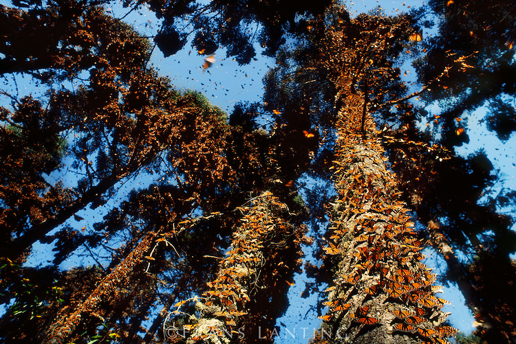 Monarch butterfly migration tree - photo#3