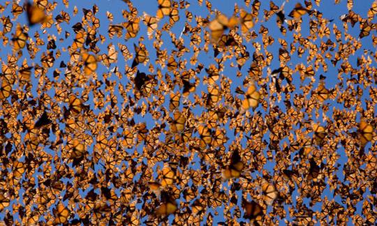 monarchswarm